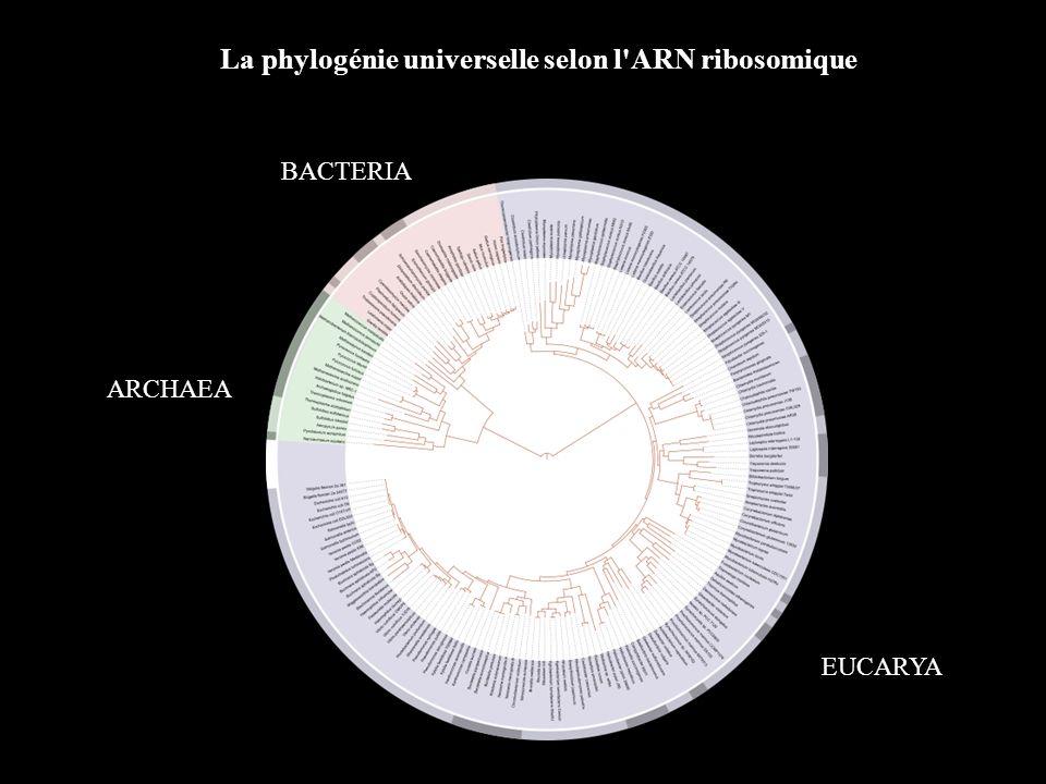 La phylogénie universelle selon l'ARN ribosomique EUCARYA ARCHAEA BACTERIA