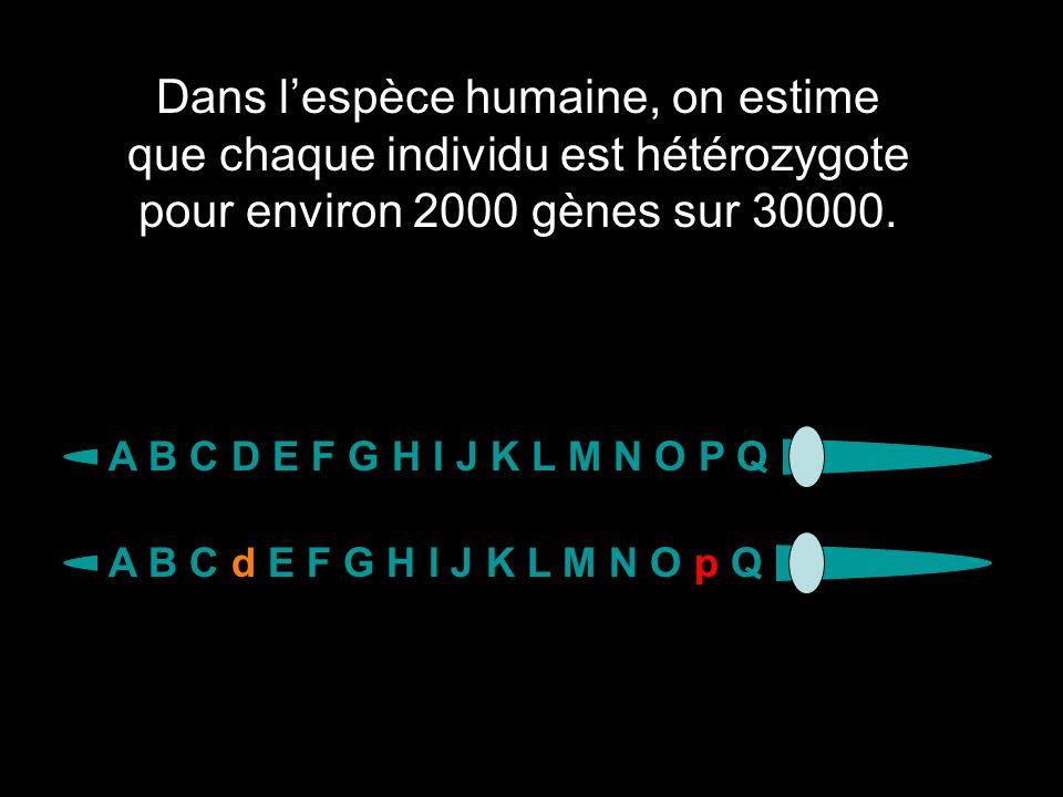 Dans lespèce humaine, on estime que chaque individu est hétérozygote pour environ 2000 gènes sur 30000. A B C D E F G H I J K L M N O P Q A B C d E F