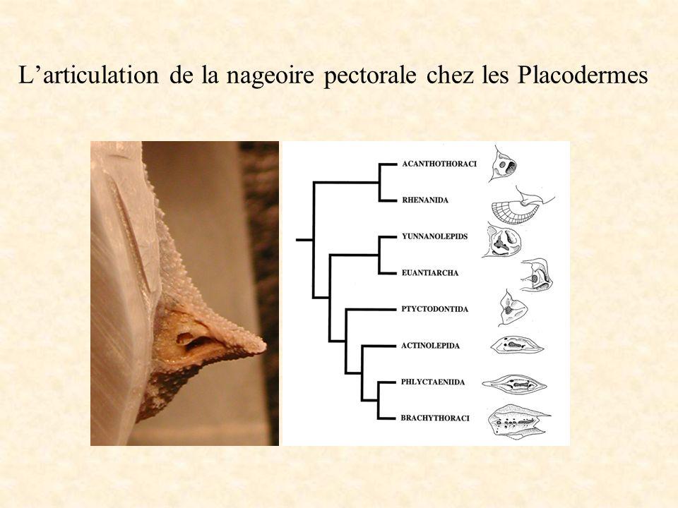 Larticulation de la nageoire pectorale chez les Placodermes
