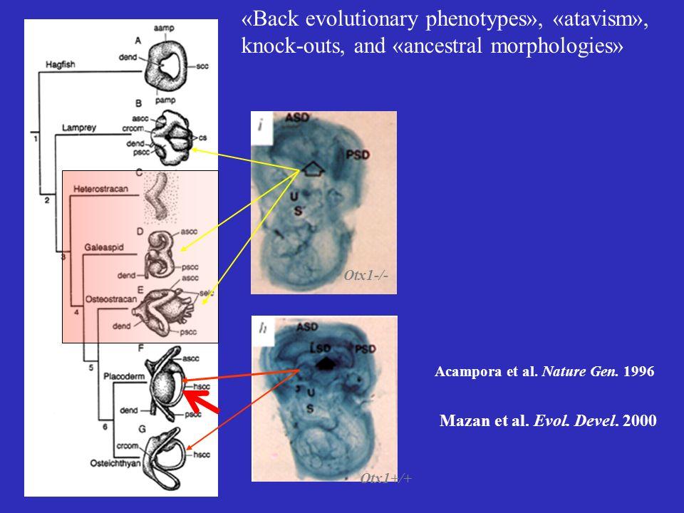 «Back evolutionary phenotypes», «atavism», knock-outs, and «ancestral morphologies» Otx1-/- Acampora et al. Nature Gen. 1996 Mazan et al. Evol. Devel.