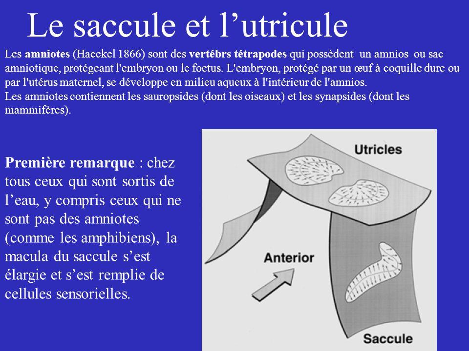 Le saccule et lutricule Les amniotes (Haeckel 1866) sont des vertébrs tétrapodes qui possèdent un amnios ou sac amniotique, protégeant l'embryon ou le