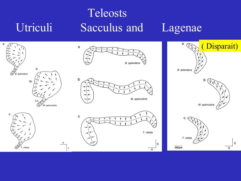 Teleosts Utriculi Sacculus and Lagenae ( Disparait)