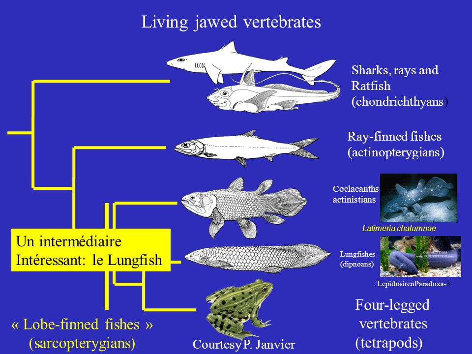 Living jawed vertebrates Sharks, rays and Ratfish (chondrichthyans) Ray-finned fishes (actinopterygians) Coelacanths actinistians Lungfishes (dipnoans) Four-legged vertebrates (tetrapods) « Lobe-finned fishes » (sarcopterygians) Latimeria chalumnae LepidosirenParadoxa-3 Un intermédiaire Intéressant: le Lungfish Courtesy P.