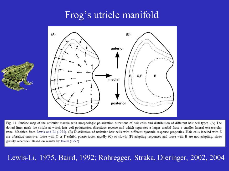 Frogs utricle manifold Lewis-Li, 1975, Baird, 1992; Rohregger, Straka, Dieringer, 2002, 2004