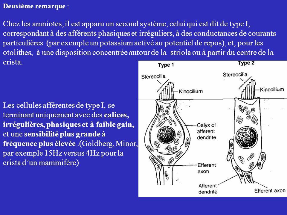 Deuxième remarque : Chez les amniotes, il est apparu un second système, celui qui est dit de type I, correspondant à des afférents phasiques et irrégu