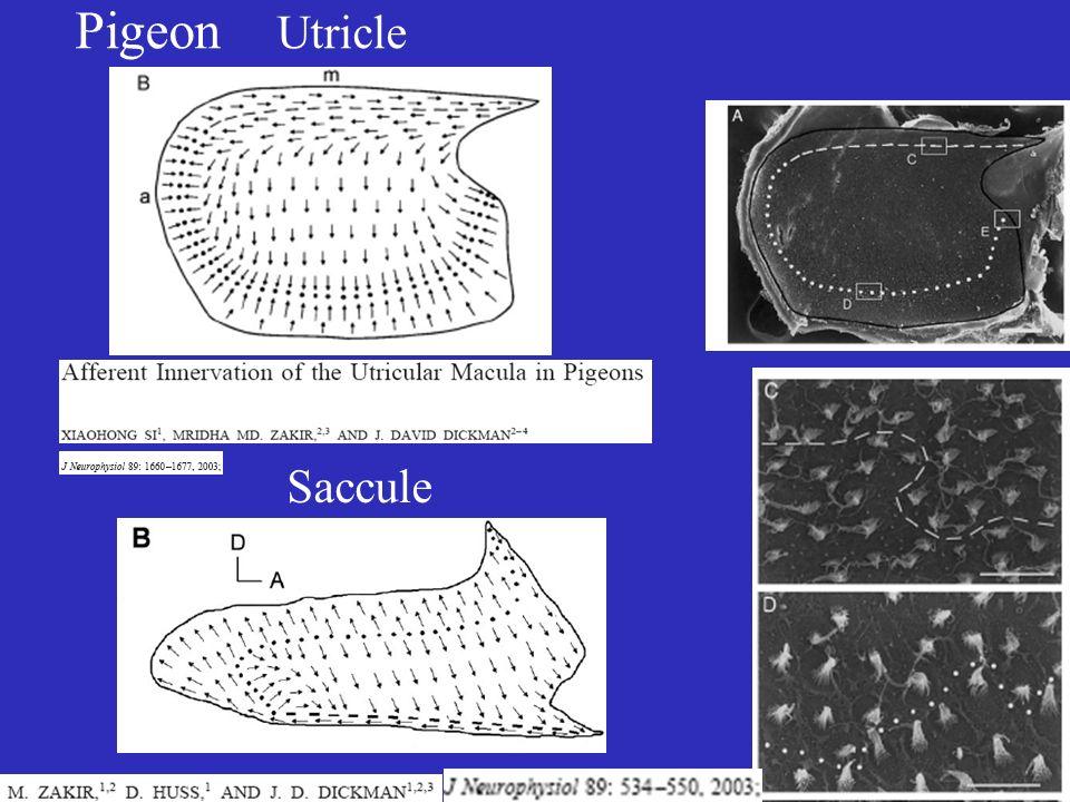 Pigeon Utricle Saccule