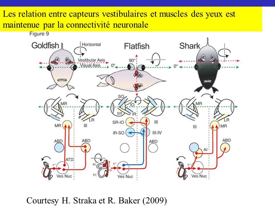 Courtesy H. Straka et R. Baker (2009) Les relation entre capteurs vestibulaires et muscles des yeux est maintenue par la connectivité neuronale