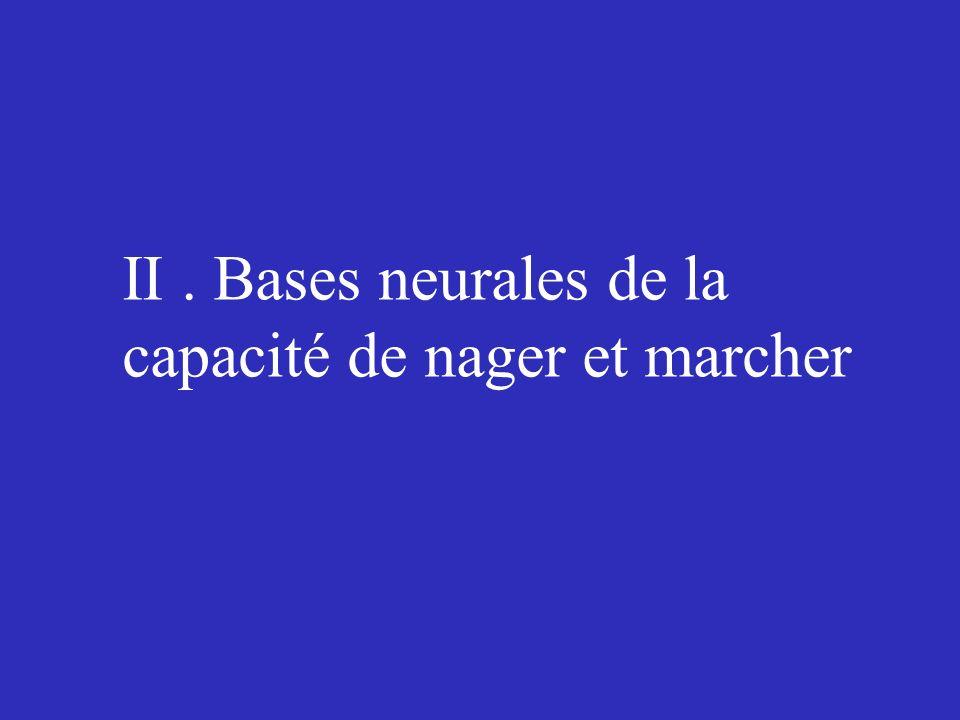II. Bases neurales de la capacité de nager et marcher