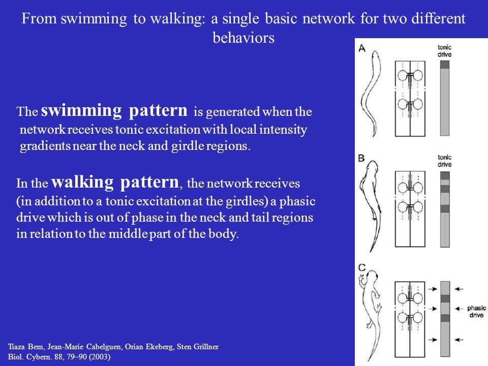 Tiaza Bem, Jean-Marie Cabelguen, Orian Ekeberg, Sten Grillner Biol. Cybern. 88, 79–90 (2003) From swimming to walking: a single basic network for two