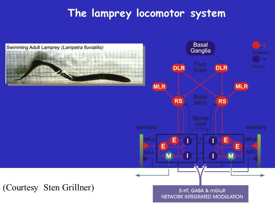 (Courtesy Sten Grillner) The lamprey locomotor system