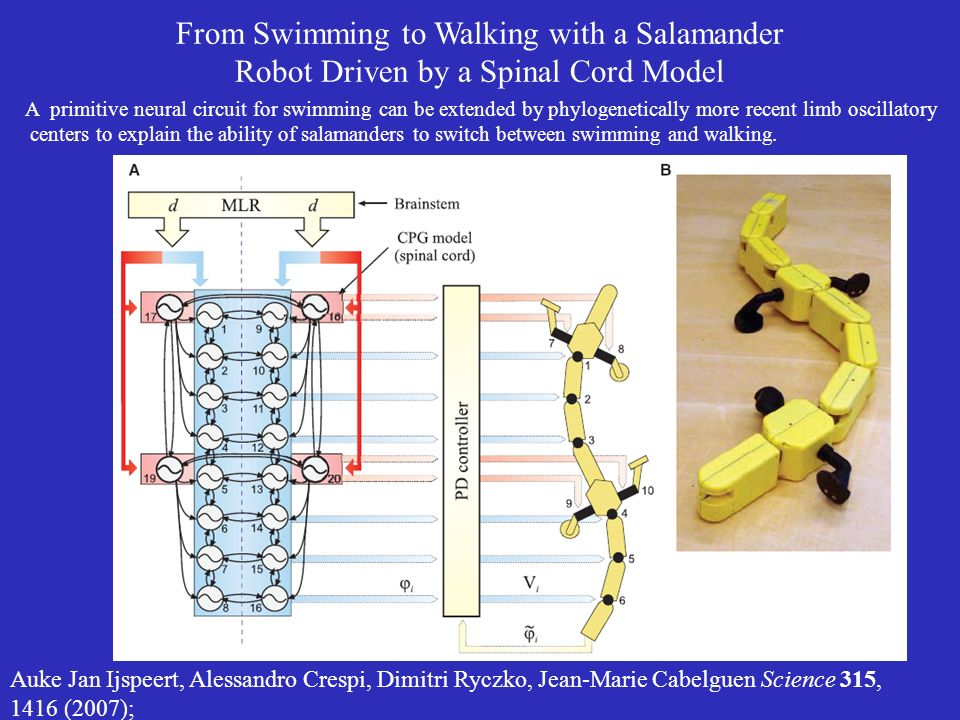 From Swimming to Walking with a Salamander Robot Driven by a Spinal Cord Model Auke Jan Ijspeert, Alessandro Crespi, Dimitri Ryczko, Jean-Marie Cabelguen Science 315, 1416 (2007); A primitive neural circuit for swimming can be extended by phylogenetically more recent limb oscillatory centers to explain the ability of salamanders to switch between swimming and walking.