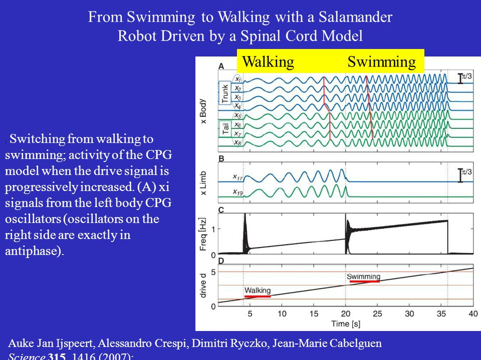 From Swimming to Walking with a Salamander Robot Driven by a Spinal Cord Model Auke Jan Ijspeert, Alessandro Crespi, Dimitri Ryczko, Jean-Marie Cabelguen Science 315, 1416 (2007);.