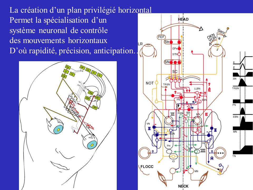 La création dun plan privilégié horizontal Permet la spécialisation dun système neuronal de contrôle des mouvements horizontaux Doù rapidité, précisio