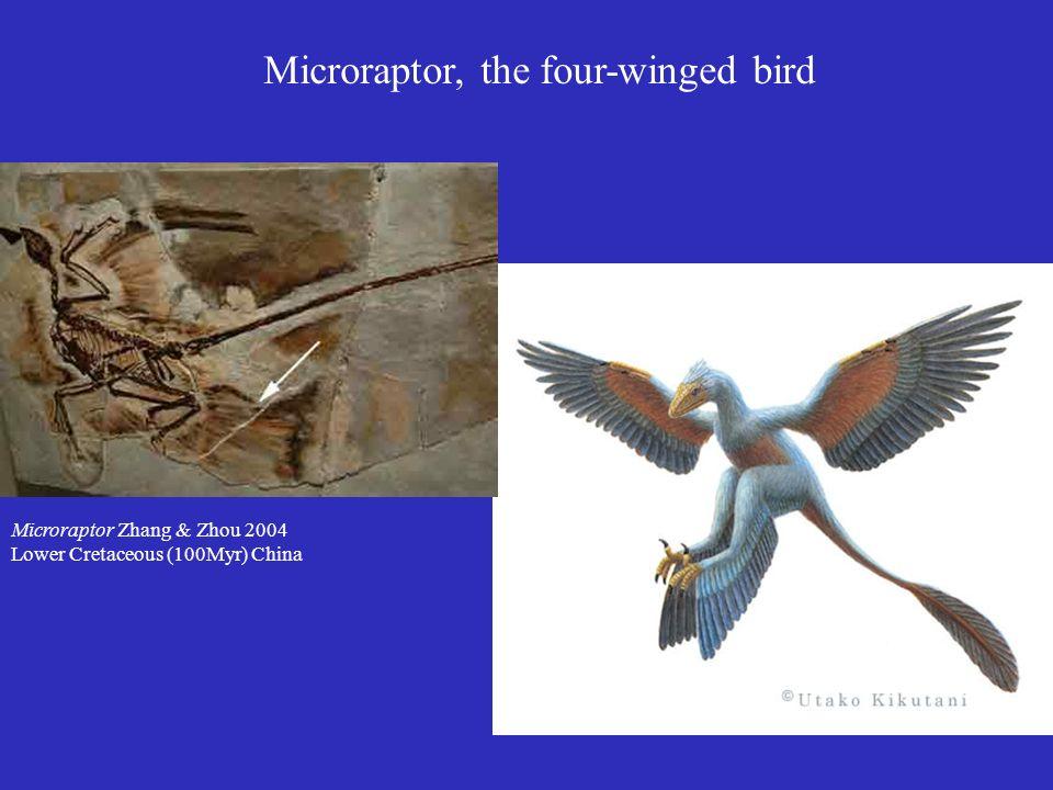 Microraptor, the four-winged bird Microraptor Zhang & Zhou 2004 Lower Cretaceous (100Myr) China