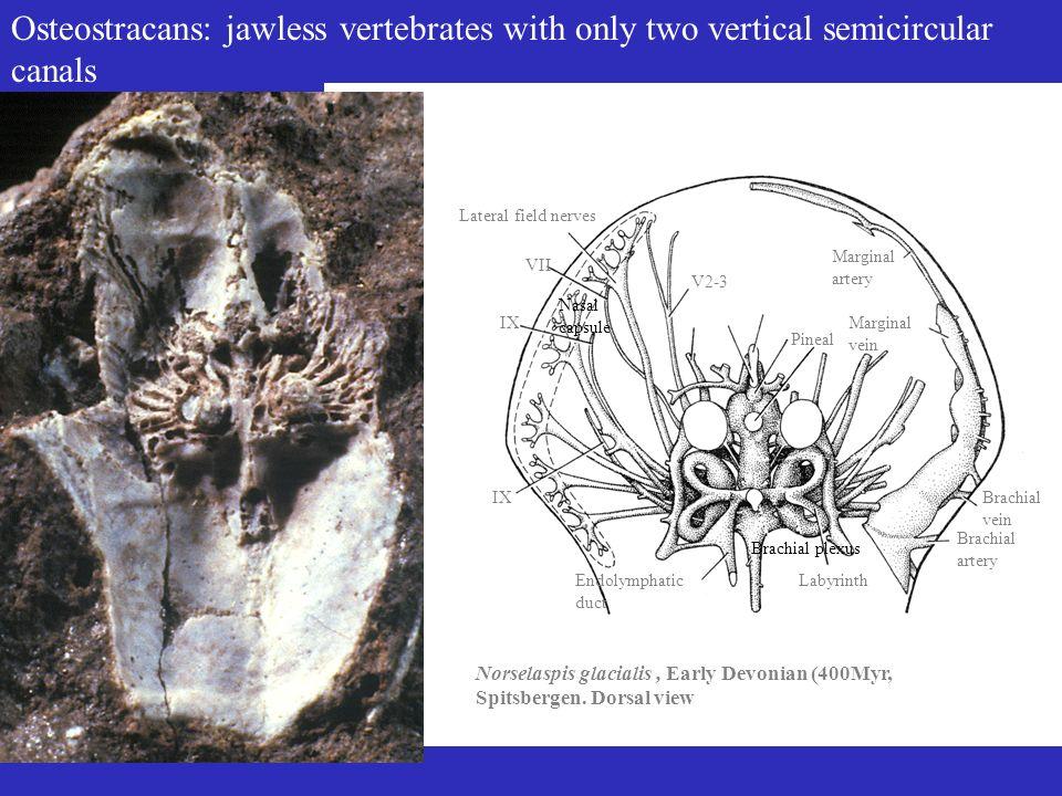 Gnathostomes (jawed vertebrates) Morphology & physiologyGene sequence data