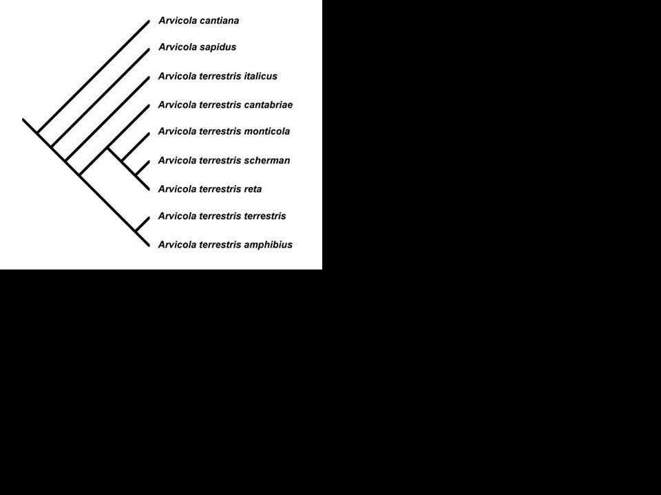 Arvicola cantiana