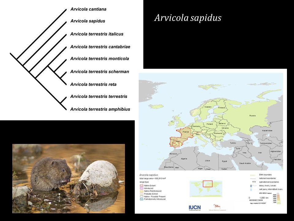 Arvicola sapidus