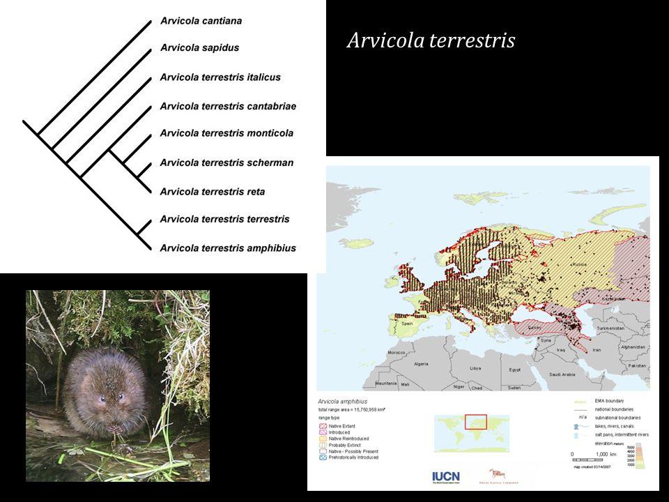 Arvicola terrestris