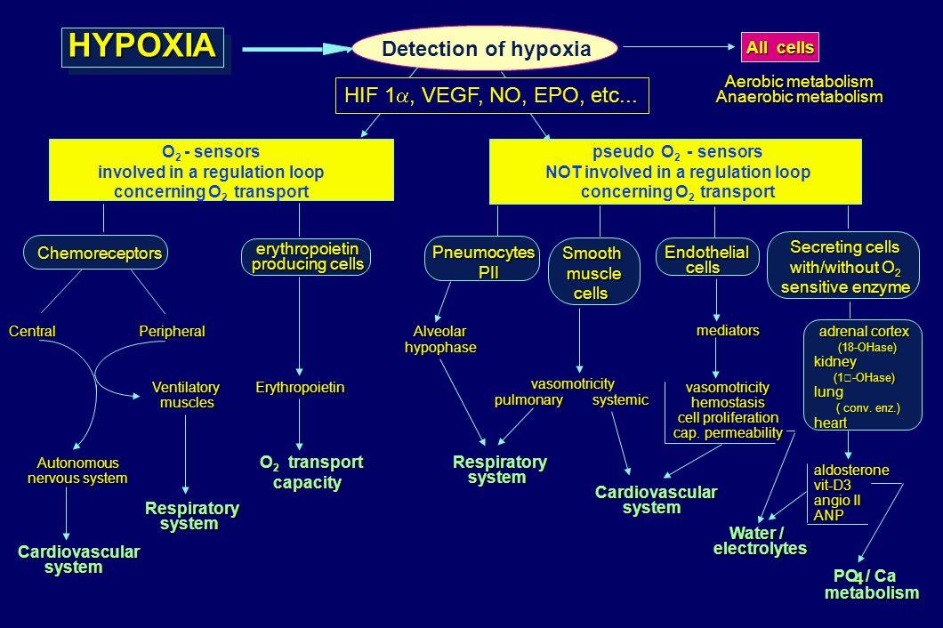 HYPOXIAHYPOXIA Central Peripheral Autonomous nervous system Ventilatory musclesCardiovascularsystem Respiratorysystem Erythropoietin O 2 transport cap