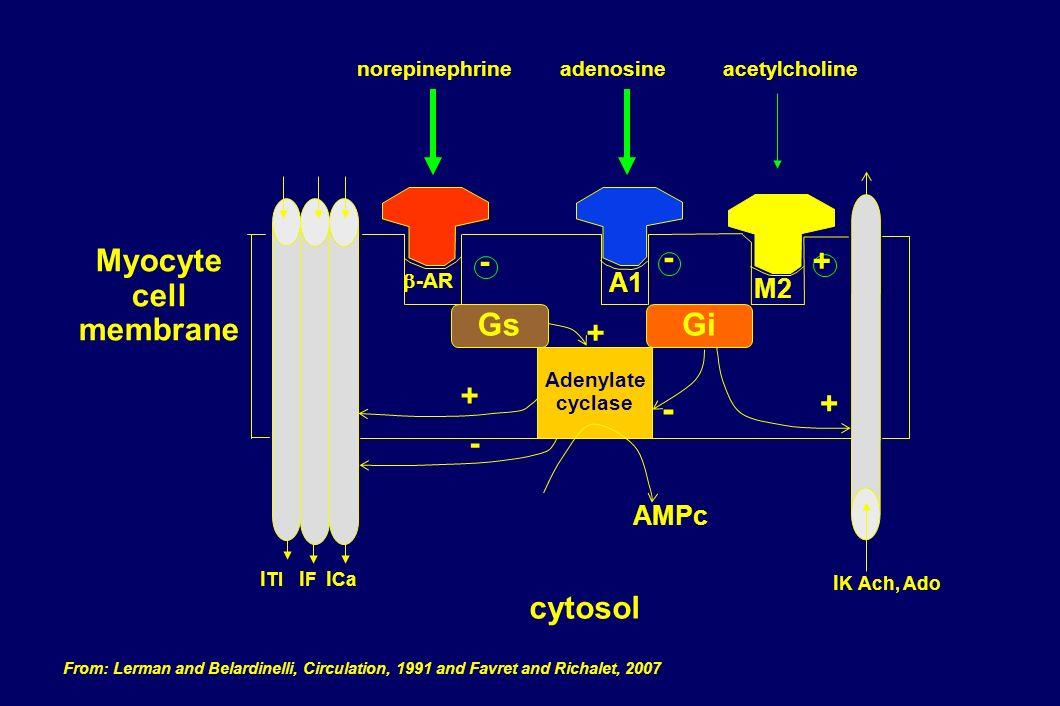 -AR Gs Gi GsGi Adenylate cyclase AMPc A1 M2 norepinephrine adenosineacetylcholine - -+ + - + - + I K Ach, Ado I Tl I F I Ca Myocyte cell membrane cyto
