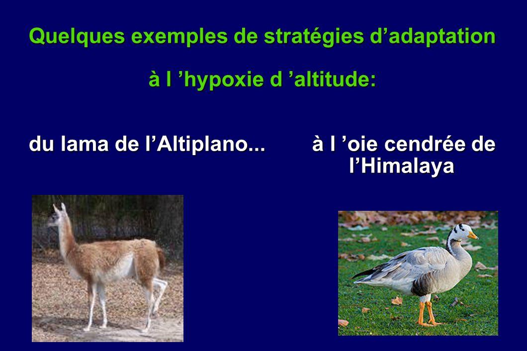 Quelques exemples de stratégies dadaptation à l hypoxie d altitude: du lama de lAltiplano... à l oie cendrée de lHimalaya