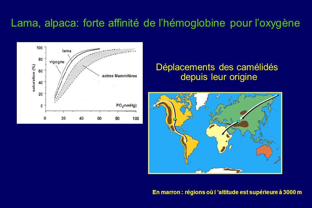 Déplacements des camélidés depuis leur origine En marron : régions où l altitude est supérieure à 3000 m Lama, alpaca: forte affinité de lhémoglobine