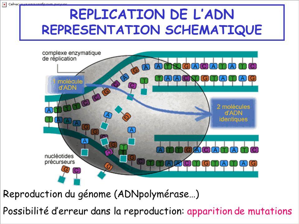 REPLICATION DE LADN REPRESENTATION SCHEMATIQUE Reproduction du génome (ADNpolymérase…) Possibilité derreur dans la reproduction: apparition de mutatio