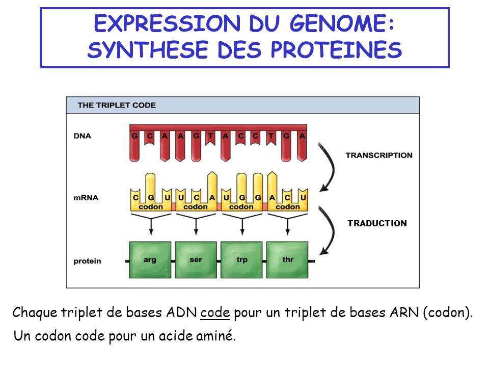 EXPRESSION DU GENOME: SYNTHESE DES PROTEINES TRADUCTION Chaque triplet de bases ADN code pour un triplet de bases ARN (codon). Un codon code pour un a