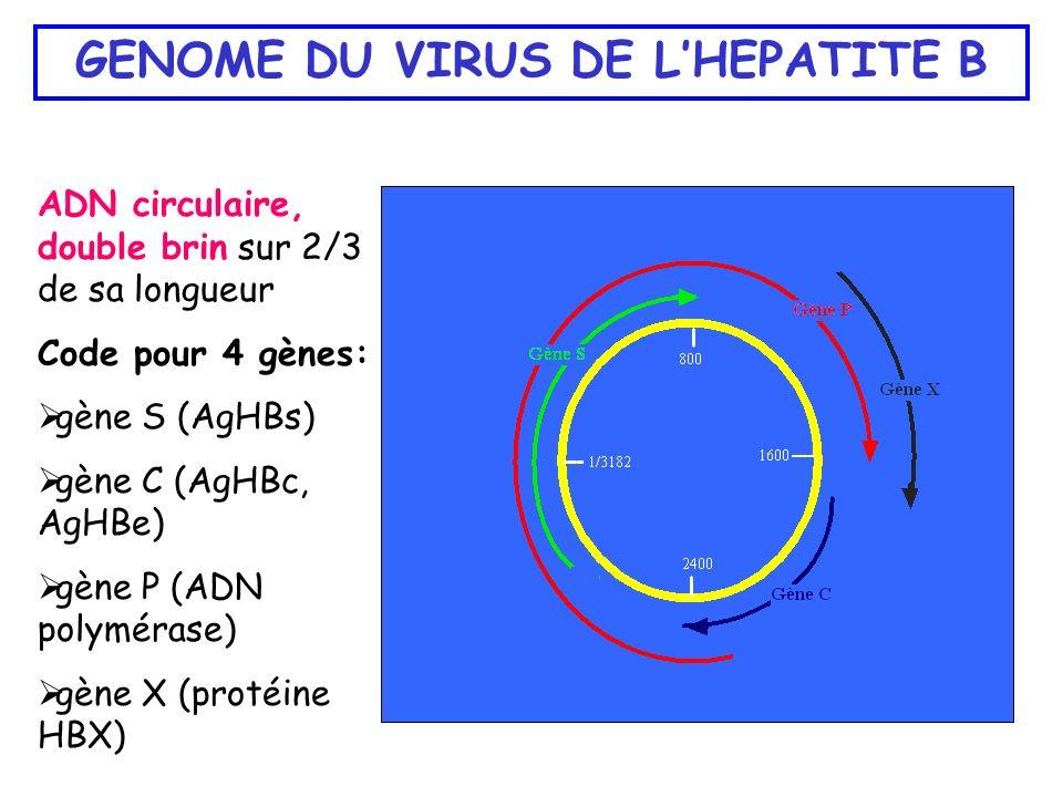 GENOME DU VIRUS DE LHEPATITE B ADN circulaire, double brin sur 2/3 de sa longueur Code pour 4 gènes: gène S (AgHBs) gène C (AgHBc, AgHBe) gène P (ADN