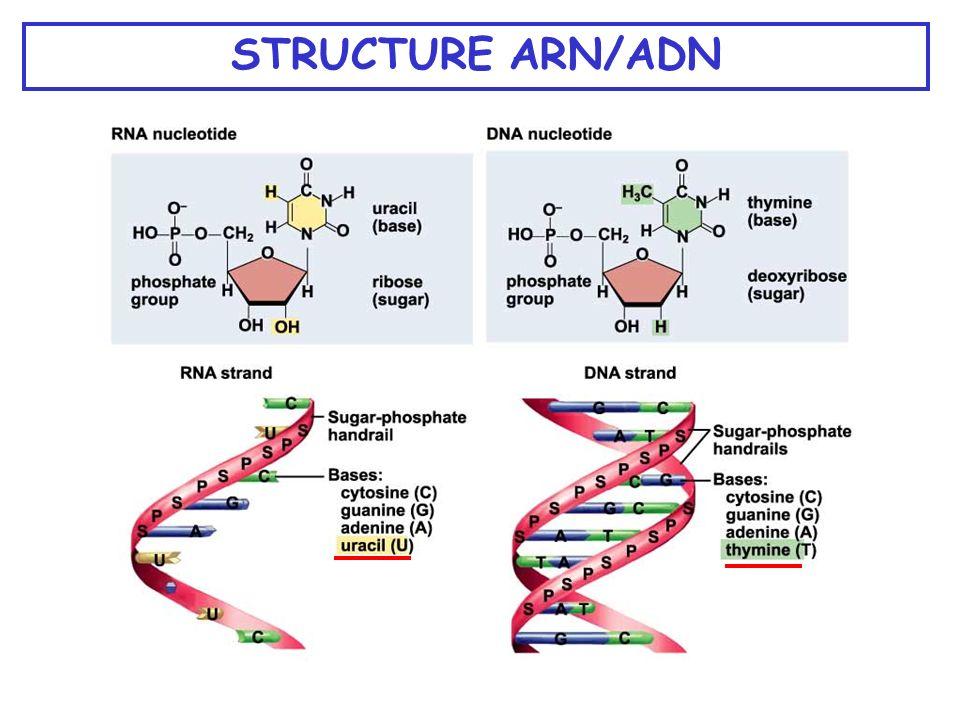 STRUCTURE ARN/ADN