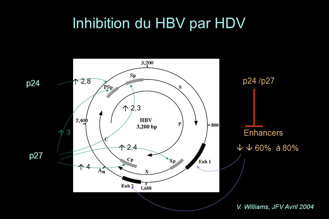 Inhibition du HBV par HDV p24 /p27 Enhancers 60% à 80% p24 2,8 p27 3 2,3 2,4 4 V. Williams, JFV Avril 2004