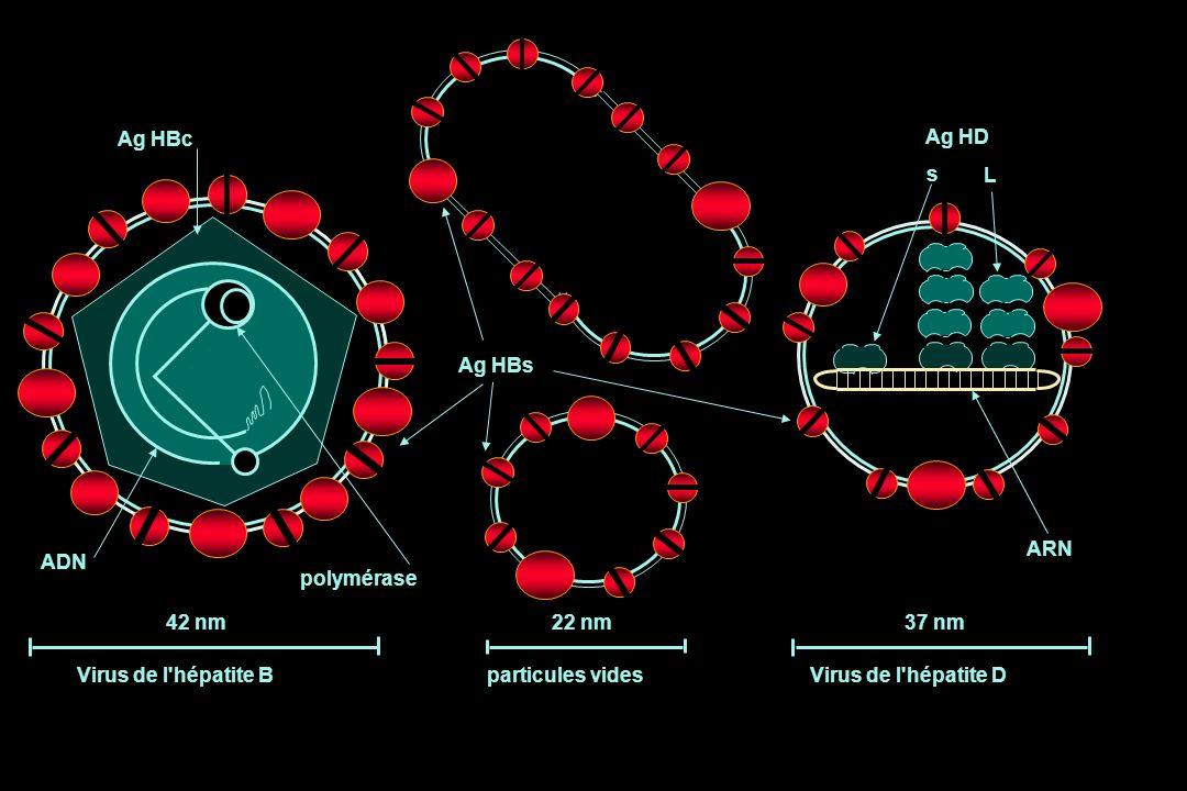 42 nm22 nm37 nm Virus de l'hépatite Bparticules videsVirus de l'hépatite D Ag HBs Ag HBc Ag HD s L polymérase ADN ARN