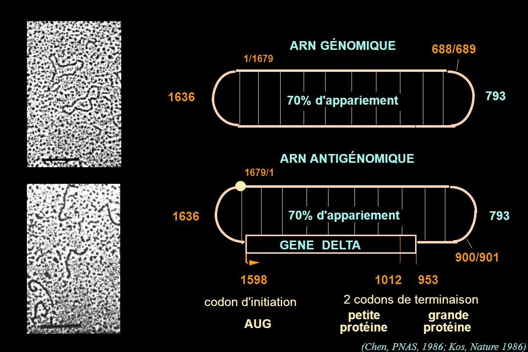 ARN ANTIGÉNOMIQUE 953 900/901 15981012 2 codons de terminaison petite protéine grande protéine GENE DELTA codon d'initiation AUG 70% d'appariement ARN