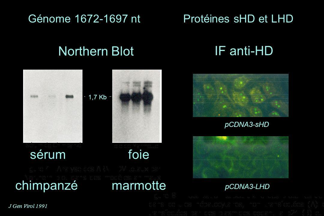 sérum chimpanzé Northern Blot foie marmotte 1,7 Kb J Gen Virol 1991 Génome 1672-1697 nt pCDNA3-sHD pCDNA3-LHD IF anti-HD Protéines sHD et LHD