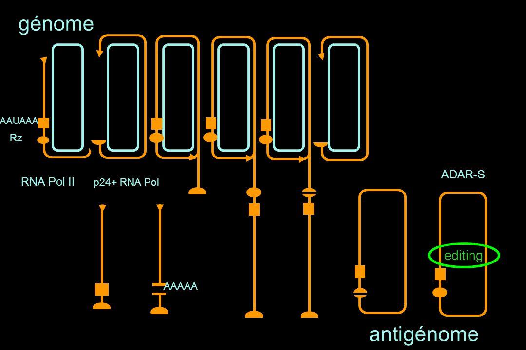 AAUAAA Rz génome RNA Pol II AAAAA antigénome p24+ RNA Pol editing ADAR-S