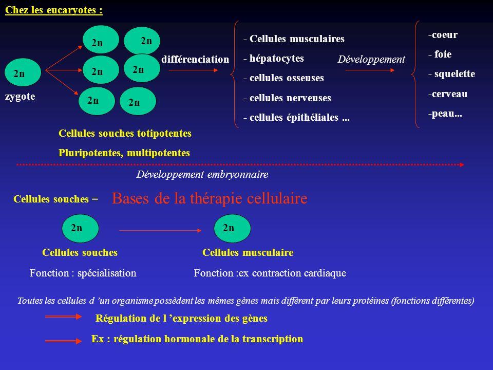 Chez les eucaryotes : Ex : régulation hormonale de la transcription 2n zygote - Cellules musculaires - hépatocytes - cellules osseuses - cellules nerv