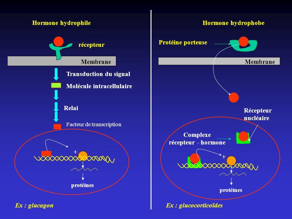 Membrane récepteur Hormone hydrophile Transduction du signal Molécule intracellulaire + protéines Membrane Protéine porteuse Hormone hydrophobe Comple