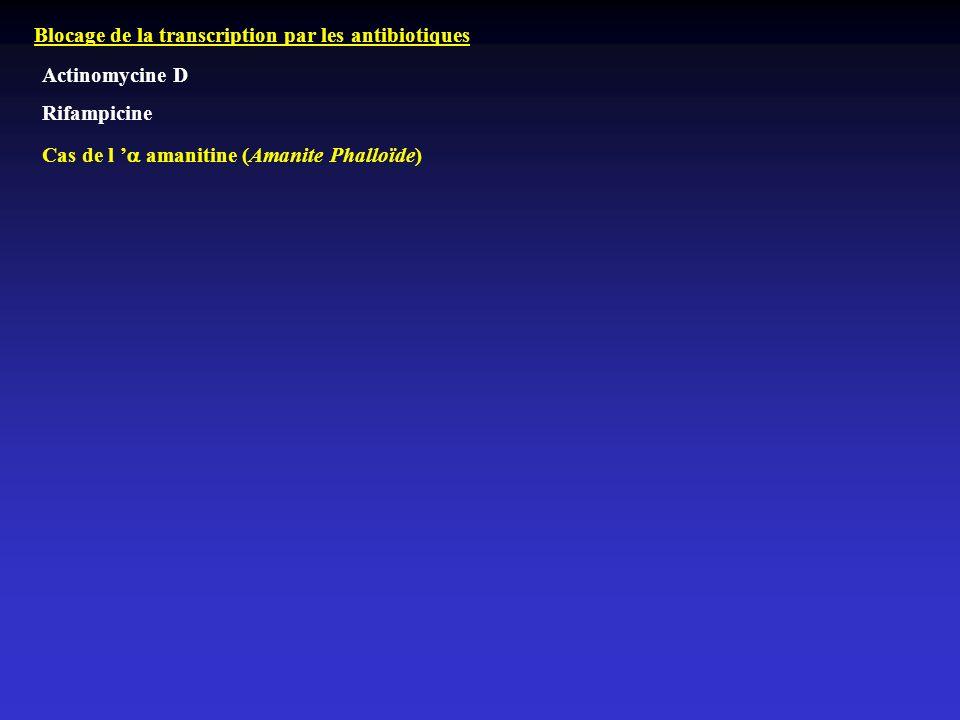 Blocage de la transcription par les antibiotiques Actinomycine D Rifampicine Cas de l amanitine (Amanite Phalloïde)