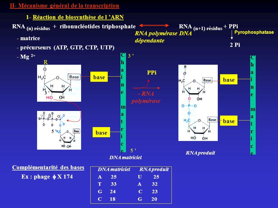 II- Mécanisme général de la transcription 1- Réaction de biosynthèse de l ARN RNA (n) résidus + ribonucléotides triphosphate RNA (n+1) résidus + PPi R