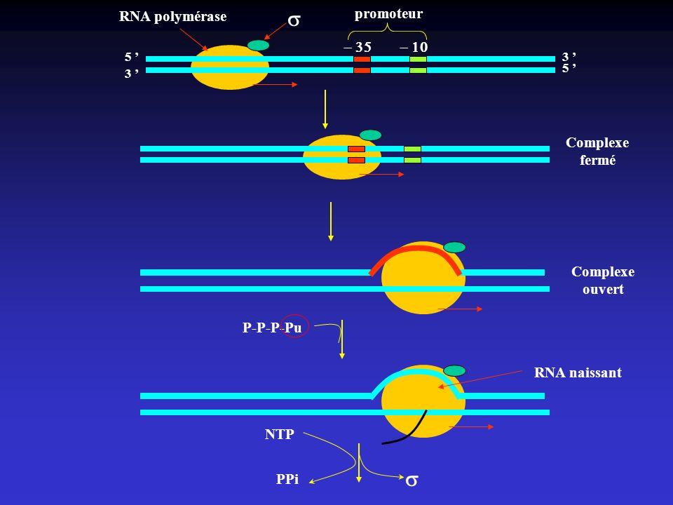 5 3 3 5 promoteur Complexe fermé Complexe ouvert P-P-P-Pu RNA polymérase RNA naissant NTP PPi