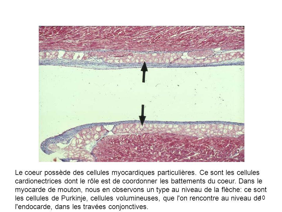 10 Le coeur possède des cellules myocardiques particulières. Ce sont les cellules cardionectrices dont le rôle est de coordonner les battements du coe