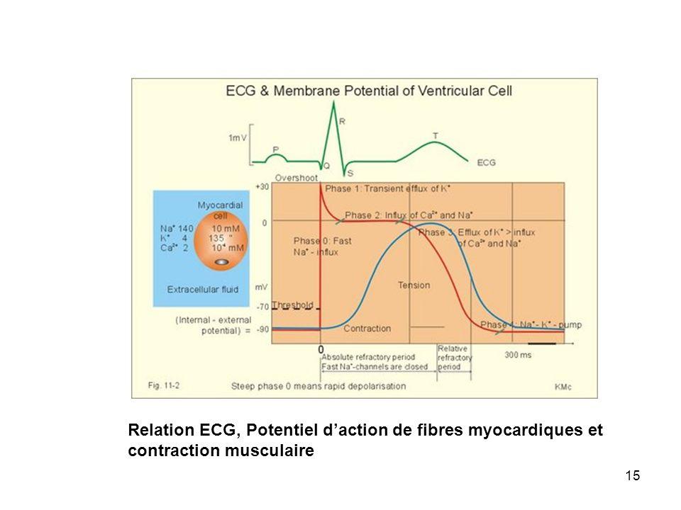15 Relation ECG, Potentiel daction de fibres myocardiques et contraction musculaire