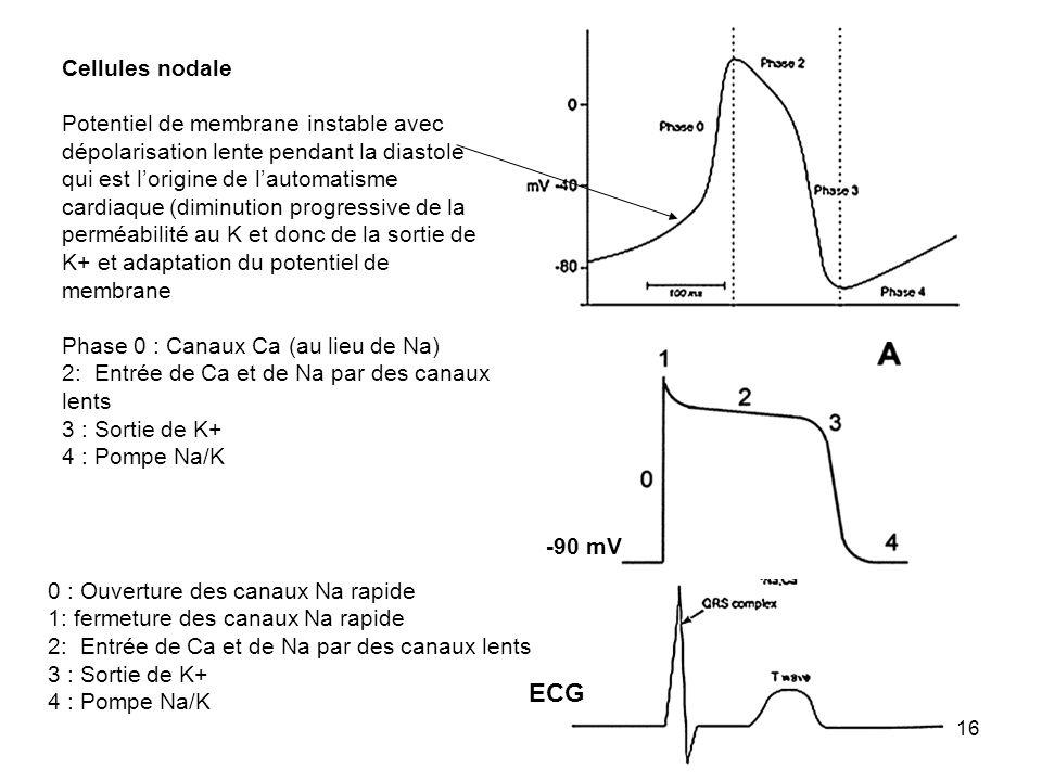 16 -90 mV ECG Cellules nodale Potentiel de membrane instable avec dépolarisation lente pendant la diastole qui est lorigine de lautomatisme cardiaque