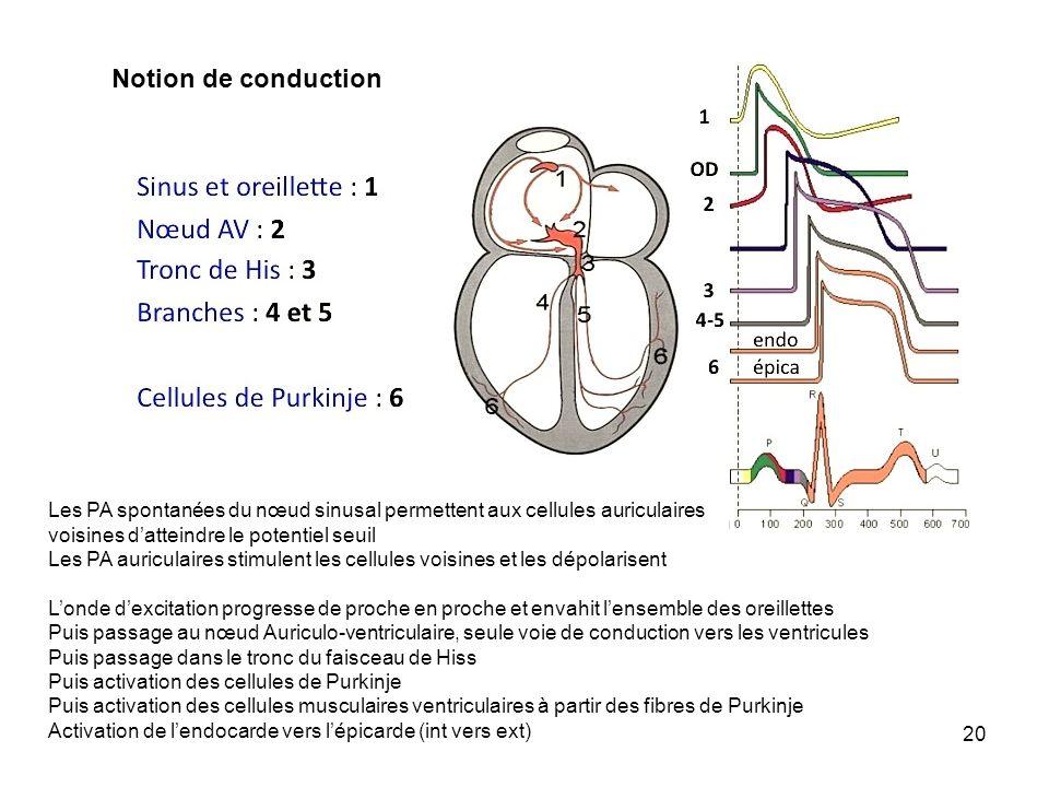 20 Notion de conduction Les PA spontanées du nœud sinusal permettent aux cellules auriculaires voisines datteindre le potentiel seuil Les PA auriculai