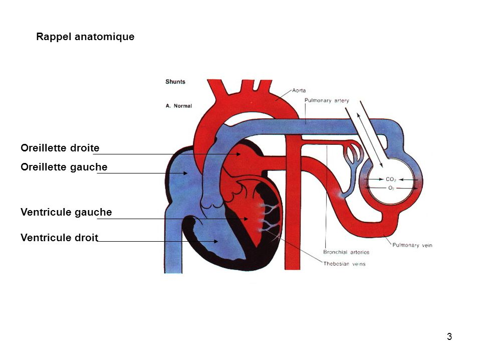 3 Rappel anatomique Oreillette droite Oreillette gauche Ventricule gauche Ventricule droit