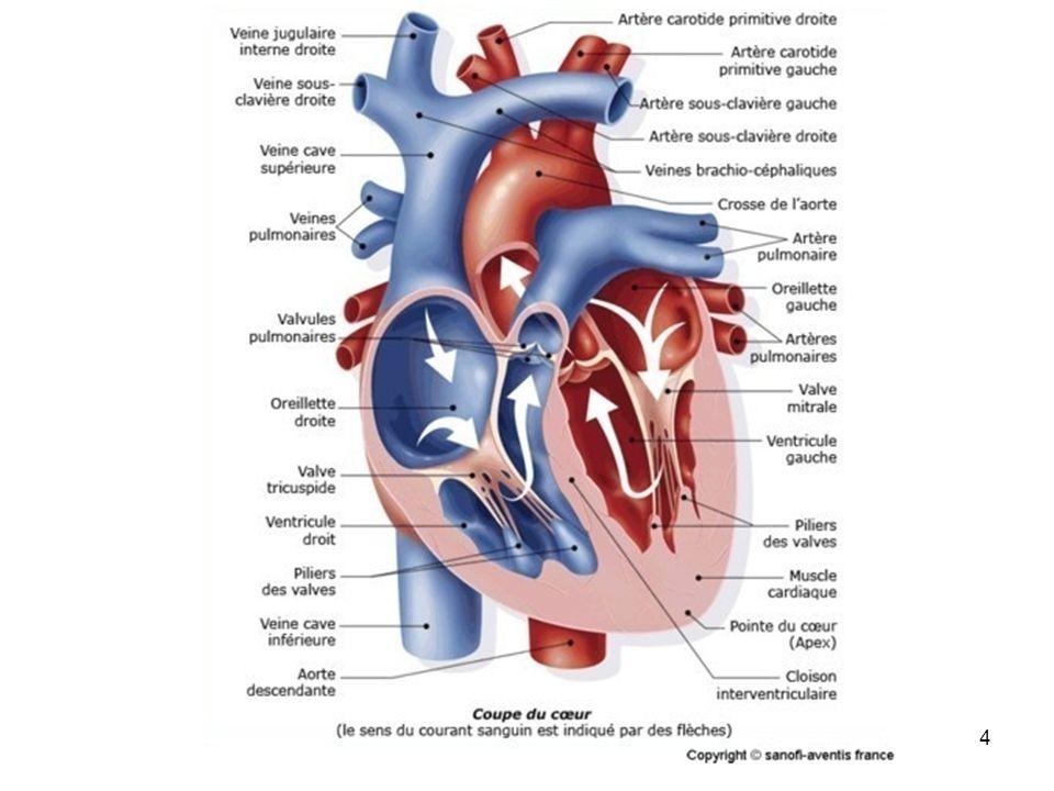 5 Nœud sinusal (Nœud de Keith et Flack) Nœud auriculo-ventriculaire (nœud dAschoff-Tawara) Tronc su faisceau de Hiss Branche droite du faisceau de Hiss Branche gauche du faisceau de Hiss Tissus myocardique Tissus Nodal Fonction Le tissus Nodal : Elaboration de linflux nerveux et de sa propagation vers le tissus myocardique, à lorigine du rythme cardiaque Le tissus myocardique : Tissus musculaire à lorigine de la contraction