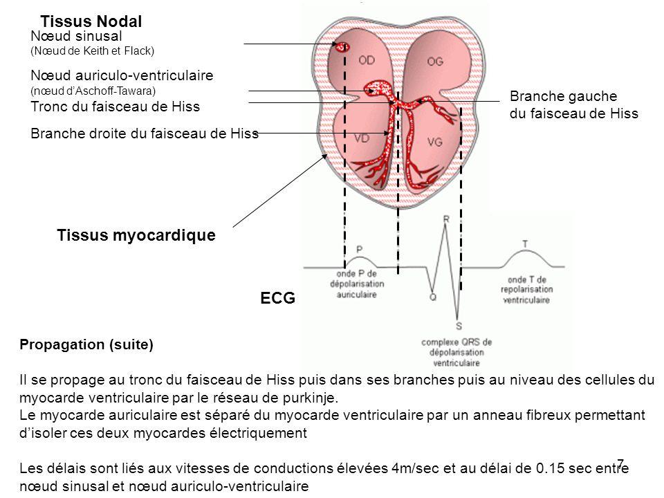 8 Exemple de cellules myocardiques liées entre elles par des Gap junctions (Bande sombre)