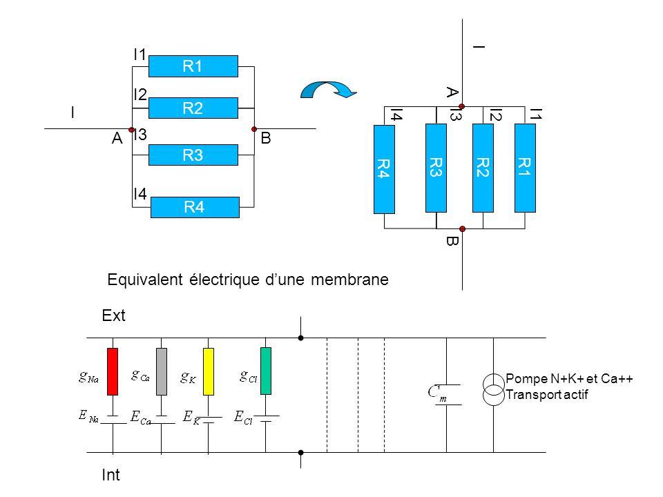 Pompe N+K+ et Ca++ Transport actif Ext Int R1 R2 R3 R4 A B I I1 I2 I3 I4 R1 R2 R3 R4 A B I I1 I2 I3 I4 Equivalent électrique dune membrane