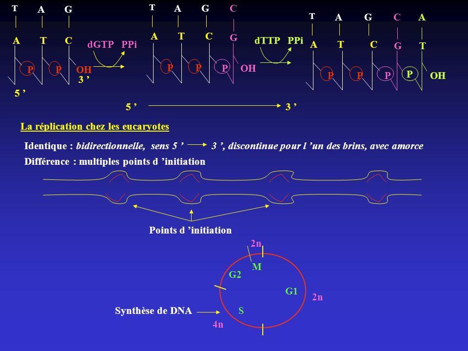 dGTP PPi A T C T AG PPOH 5 3 PP A T C T AG POH G C dTTP PPi PP A T C T AG P G C T A P OH 5 3 La réplication chez les eucaryotes Identique : bidirectio