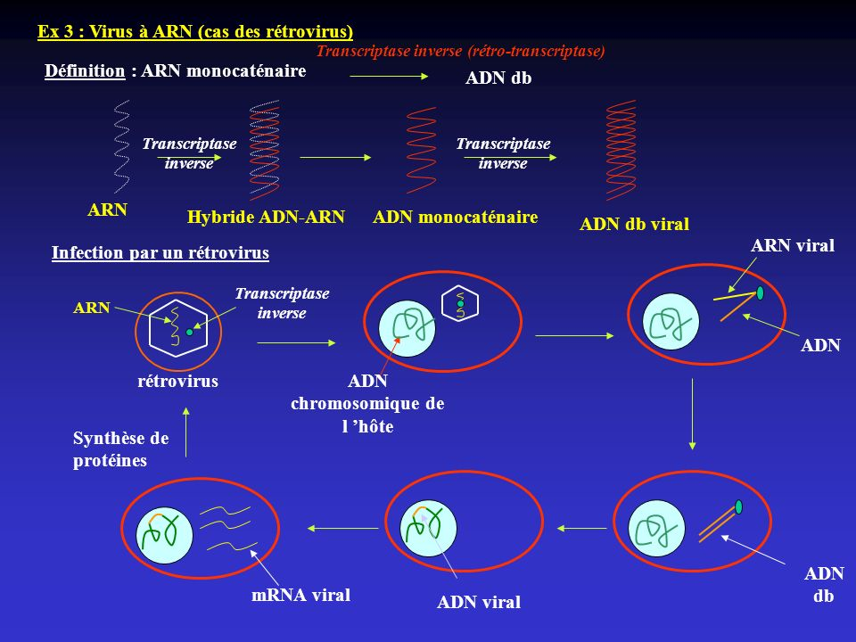 Ex 3 : Virus à ARN (cas des rétrovirus) Définition : ARN monocaténaire Transcriptase inverse (rétro-transcriptase) ADN db ARN Hybride ADN-ARN Transcri